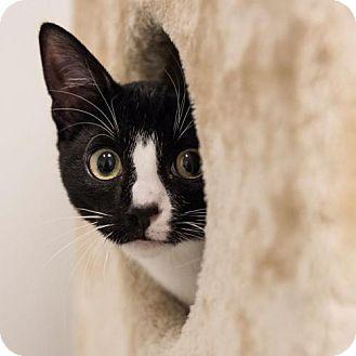 Domestic Shorthair Cat for adoption in St. Paul, Minnesota - Socks
