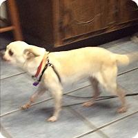 Adopt A Pet :: Mama Chi - S. Pasedena, FL