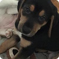 Adopt A Pet :: Joey - Hillside, IL