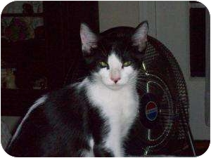 Domestic Shorthair Cat for adoption in Medford, New Jersey - Skunky