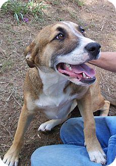 Boxer/Labrador Retriever Mix Dog for adoption in Conway, Arkansas - Bo