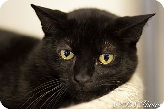 Polydactyl/Hemingway Cat for adoption in Belton, Missouri - Siete