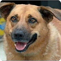 German Shepherd Dog/Hound (Unknown Type) Mix Dog for adoption in Garland, Texas - Hailey