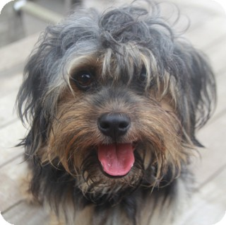 Hoover | Adopted Dog | Woonsocket, RI | Yorkie, Yorkshire ...