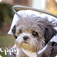 Adopt A Pet :: Poppy - Sheridan, OR