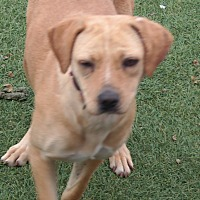 Labrador Retriever Mix Dog for adoption in San Pablo, California - GINGER