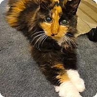 Adopt A Pet :: Suki - St. Louis, MO
