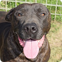 Labrador Retriever/Staffordshire Bull Terrier Mix Dog for adoption in Iola, Texas - Squirt