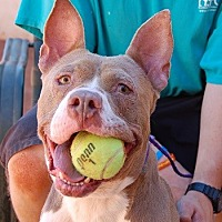 American Staffordshire Terrier/American Pit Bull Terrier Mix Dog for adoption in Las Vegas, Nevada - Yoda