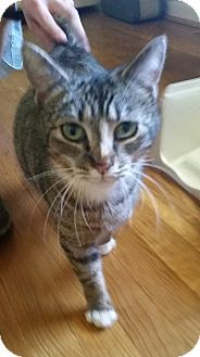 Domestic Shorthair Cat for adoption in Hixson, Tennessee - Parsnip