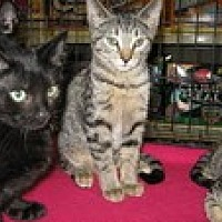 Domestic Shorthair Kitten for adoption in Arlington, Texas - Sanibel