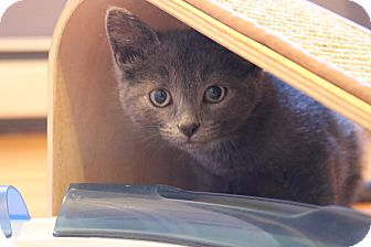 Domestic Shorthair Kitten for adoption in Rochester Hills, Michigan - Skye