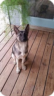 German Shepherd Dog Mix Dog for adoption in Rowayton, Connecticut - Kody Coming Attraction
