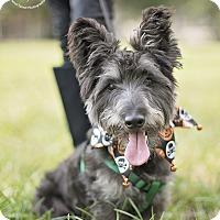 Scottie, Scottish Terrier Mix Dog for adoption in Kingwood, Texas - Pepper