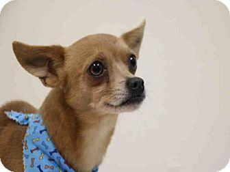 Chihuahua Mix Dog for adoption in Fort Walton Beach, Florida - ARTHUR