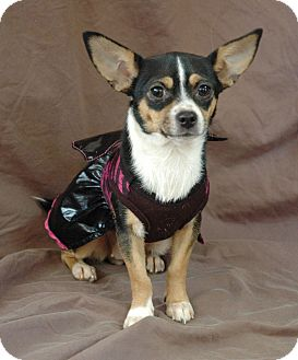 Chihuahua Mix Dog for adoption in Plainfield, Connecticut - Millie