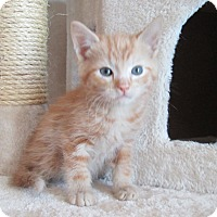 Domestic Shorthair Kitten for adoption in San Bernardino, California - Warrick