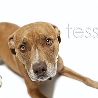 Pit Bull Terrier/Labrador Retriever Mix Dog for adoption in Redondo Beach, California - Tessa-ADOPT Me!