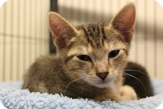 Domestic Shorthair Cat for adoption in Sarasota, Florida - Griffin