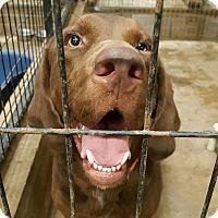 Adopt A Pet :: Hoss - Palmyra, PA
