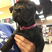 Adopt A Pet :: Pearl - Rochester, NY