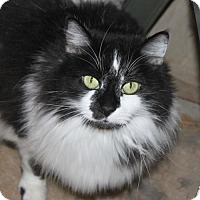 Domestic Longhair Cat for adoption in Cottonwood, California - Maggie