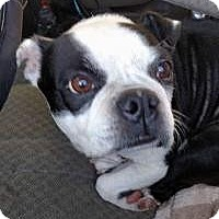 Boston Terrier Dog for adoption in fort wayne, Indiana - Buffy