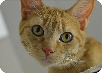 Domestic Shorthair Kitten for adoption in Freeport, Illinois - Cheddar