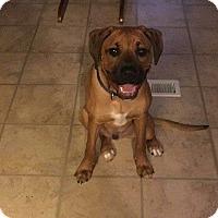 Adopt A Pet :: Cowboy Sammy - Baton Rouge, LA