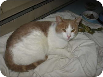 Domestic Shorthair Cat for adoption in Portland, Maine - Marshmallow
