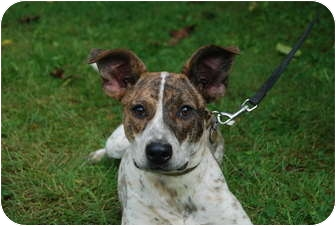 Jack Russell Terrier Mix Dog for adoption in Rhinebeck, New York - Gem