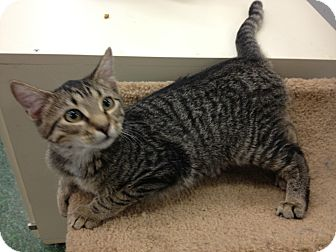 Domestic Shorthair Kitten for adoption in Chandler, Arizona - Louise