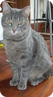 Domestic Shorthair Cat for adoption in bloomfield, New Jersey - Yoda (URGENT)