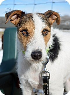 Jack Russell Terrier Dog for adoption in Cheyenne, Wyoming - Redggie