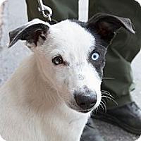 Adopt A Pet :: Willy - Cedar City, UT