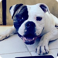 American Bulldog Dog for adoption in Lutherville, Maryland - Roman