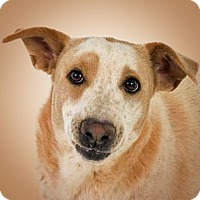 Adopt A Pet :: Skinny - Prescott, AZ
