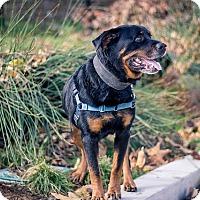 Adopt A Pet :: Duke  **URGENT** - Berkeley, CA