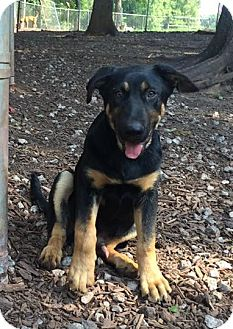 German Shepherd Dog/Labrador Retriever Mix Dog for adoption in Temple, Georgia - Switch