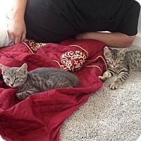 Adopt A Pet :: Tara - St. Louis, MO