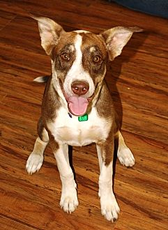Shepherd (Unknown Type) Mix Dog for adoption in Littlerock, California - Piper