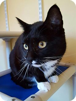 Domestic Shorthair Cat for adoption in Salisbury, Massachusetts - Raven