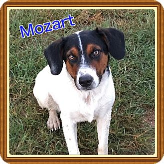 Mountain Cur Mix Dog for adoption in Haggerstown, Maryland - Mozart