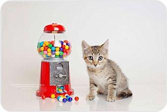 Domestic Shorthair Cat for adoption in DFW Metroplex, Texas - Deverra