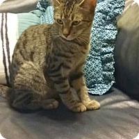 Adopt A Pet :: Harmony - Sarasota, FL