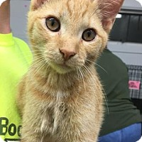 Domestic Shorthair Kitten for adoption in Paducah, Kentucky - Frampton