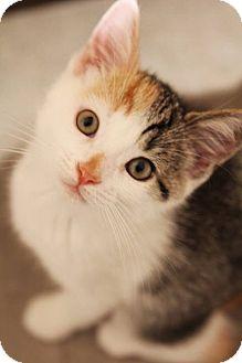 Domestic Shorthair Kitten for adoption in Thornhill, Ontario - Jigglypuff