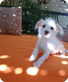 Terrier (Unknown Type, Small)/Terrier (Unknown Type, Small) Mix Puppy for adoption in La Verne, California - Tadpole