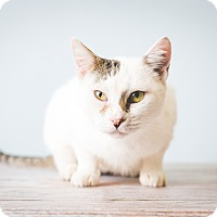 Adopt A Pet :: Smudge - Hendersonville, NC