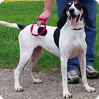 Treeing Walker Coonhound Dog for adoption in East Sparta, Ohio - Ellie Mae